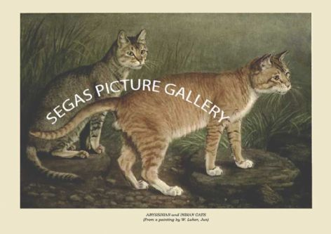 Fine art print of the ABYSSINIAN and INDIAN CATS (From a painting by W. Luker, Jun) by Frances Simpson (1903)
